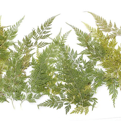 고비 잎 압화잎 20개 A-07-122
