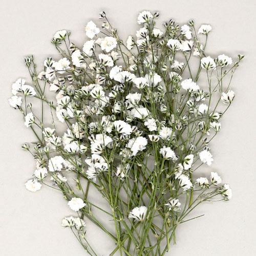 안개꽃 흰색 건조압화 25개 A-07-168