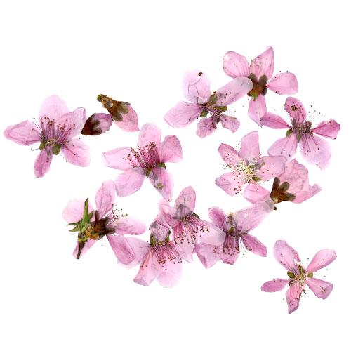 복숭아꽃 15개 건조압화