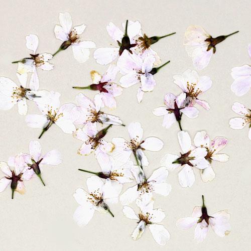 벚꽃 흰색 20개 건조압화