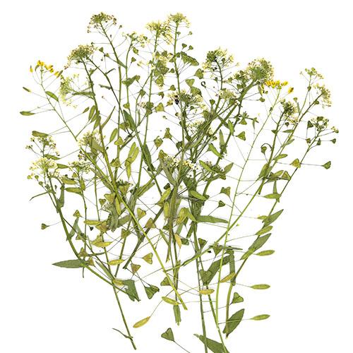 흰 냉이꽃 25줄기 건조압화 A-08-026