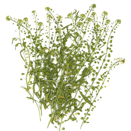들꽃 덩쿨 25줄기 건조압화 A-07-115